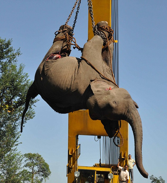 Male Elephant Killed By Passenger Train In Siliguri, India