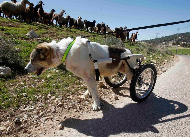 dog-on-wheels-jord_2494203k